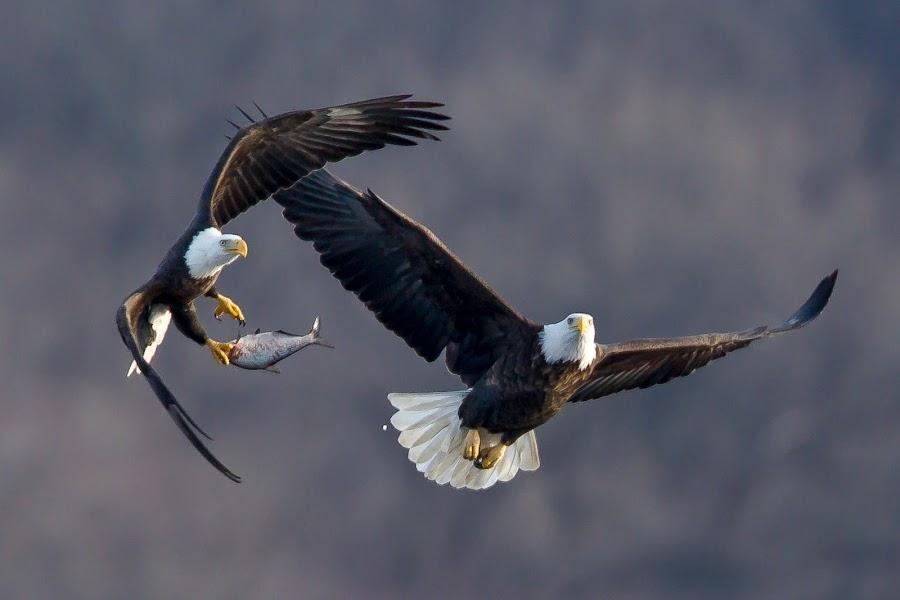 dog fight by Mark  Postal - Animals Birds ( eagle, bald eagle )