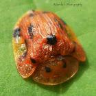 13-spotted Tortoise beetle
