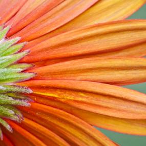 Close-up by Mahul Mukherjee - Flowers Single Flower ( colour, petals, photo, flower )