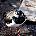 Northern Lapwing (Male)