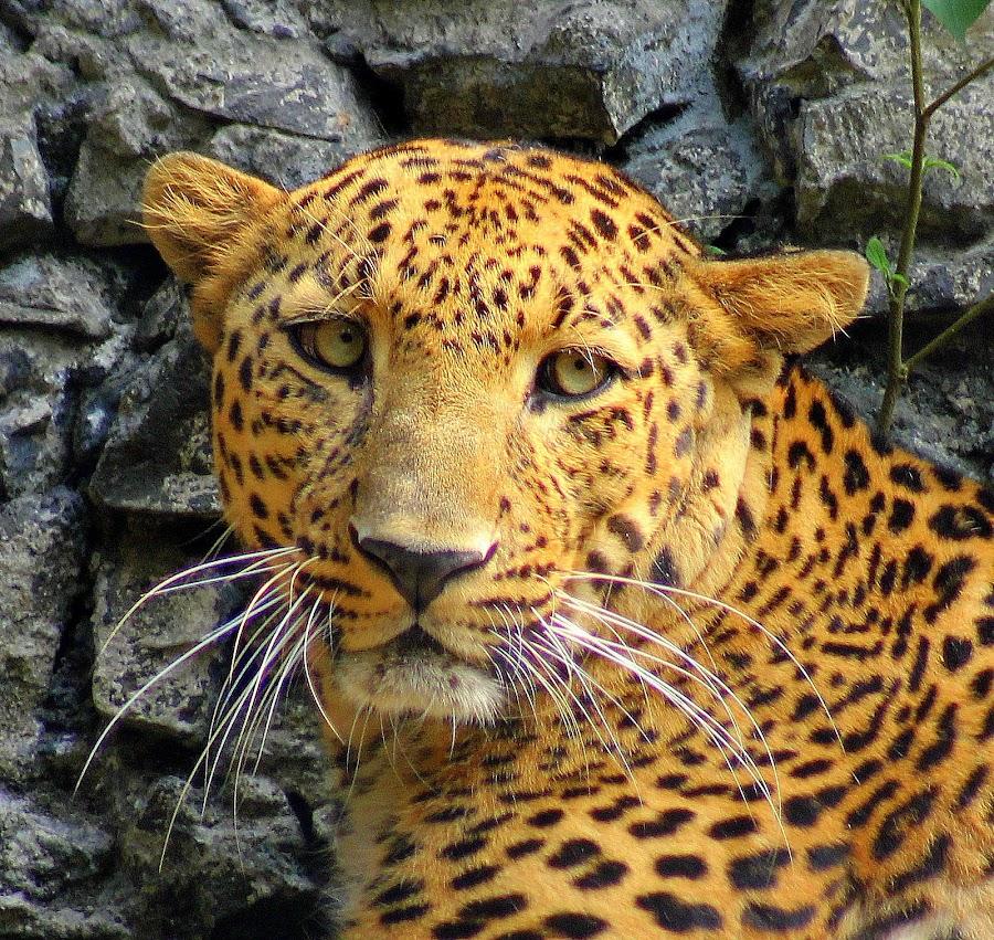 by Kuntal D - Animals Lions, Tigers & Big Cats
