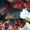 Reticulate box fish female