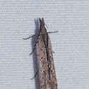 Palmerworm Moth