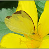 Three-Spot Grass Yellow Butterfly