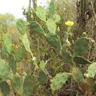 Wheel Cactus or Camuesa