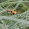 Orange Bird Grasshopper (nymph)