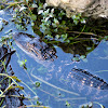 American Alligator (Juvenile)