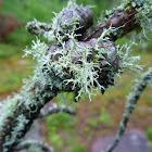 Fructose Lichen