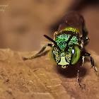 Small Carpenter bee/Dwarf Carpenter bee