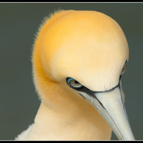 thoughtful by David Walker - Animals Birds ( gannet saffi9,  )