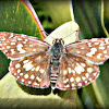 Orcus Checkered-Skipper.