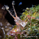 Bull Crab, Decorator Horned Crab