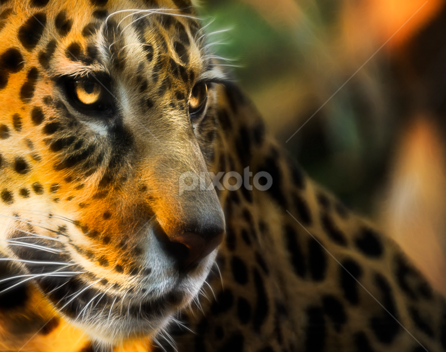 Sunkist by Don Alexander Lumsden - Animals Lions, Tigers & Big Cats
