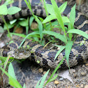Adult Northern Water Snake