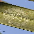 Rugose Spiraling Whitefly
