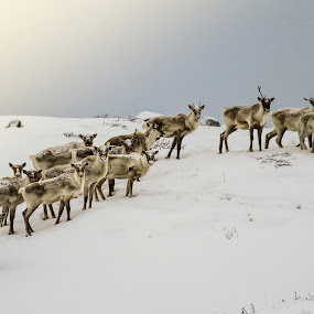 Small Herd of Woodland Caribou by Eugene Ball - Animals Other Mammals ( animals, newfoundland, nature, beautiful, caribou,  )