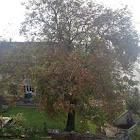 Common walnut tree