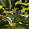 Blue-winged Minla