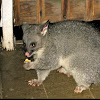 Common brushtail possum