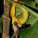Eylash viper, Schlegel's viper