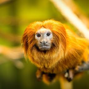 Lion Faced Monkey by Chuck Mason - Animals Other Mammals ( monkey, animal,  )