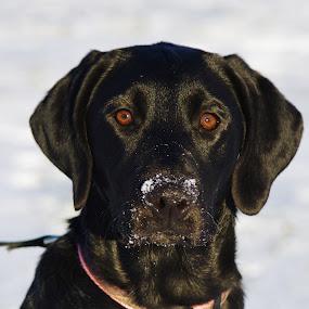 Zella by Jenny Gandert - Uncategorized All Uncategorized ( labrador retriever, gandert, retriever, snow, jenny gandert, dog, labrador, black )
