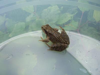 Der Frosch in seinem vorübergehenden Gefängnis