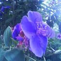 campanilla azul