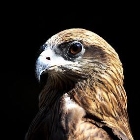 Eagle by Abhijeet Kumar - Animals Birds ( eagle, eagle portrait )