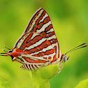 Common Silverline butterfly
