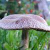 Cogumelo Viúva-Enferrugada