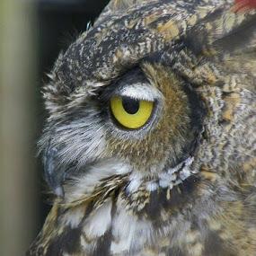 Owl by Ed Hanson - Animals Birds ( owl, brown, gold, eye )
