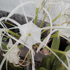 [S] Spider Lily
