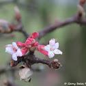 Viburnum 'Pink Dawn'