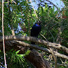 Ruppell's Long-tailed Glossy Starling