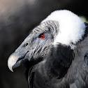 Andean condor (female)