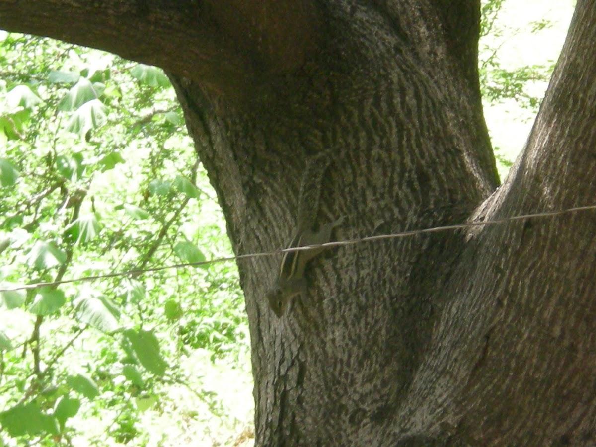 Three striped squirrel