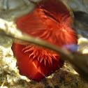 Beadlet anemone. Tomate marino
