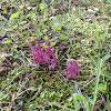 Purple coral