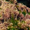 Red algae & Sea letuce