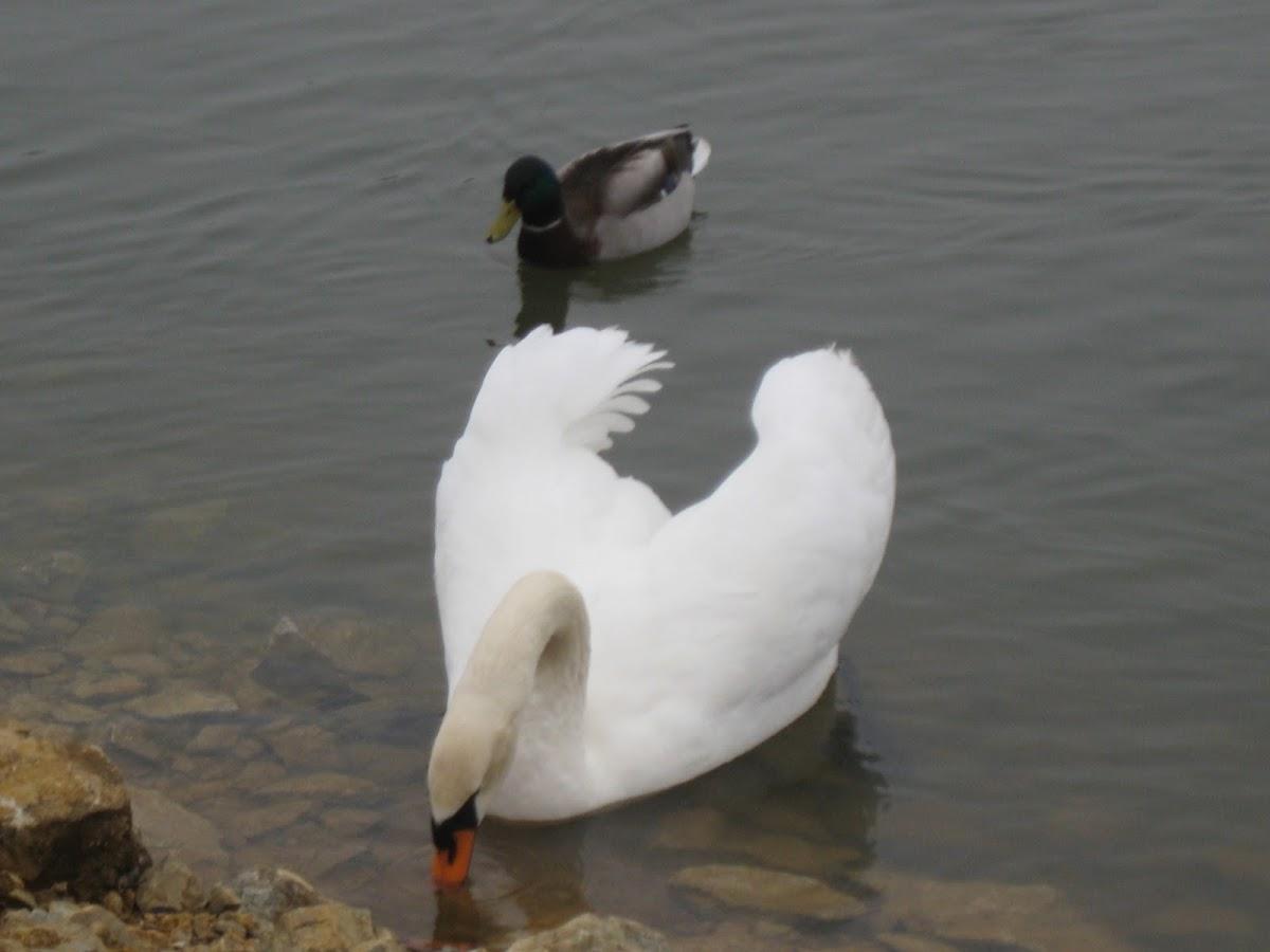 Mute Swan [and Mallard]