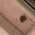 Beginning of a Wasp Nest