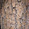Sierra Lodgepole Pine