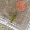Southern Green-Striped Grasshopper