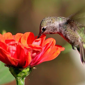 Hungry Hummer by Sherri Woodbridge - Flowers Single Flower ( bird, oorange, zinnia, hummingbird, anna's, garden, flower,  )