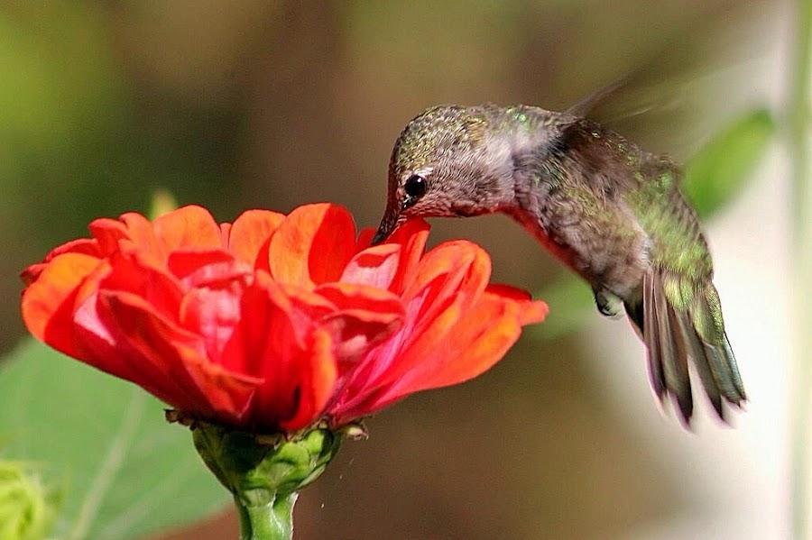 Hungry Hummer by Sherri Woodbridge - Flowers Single Flower ( bird, oorange, zinnia, hummingbird, anna's, garden, flower,  )