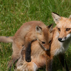 American Red Foxes