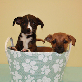 two brothers by Sharon Scholtes - Animals - Dogs Puppies ( canine, puppies, blue, basket, yellow, dog, black )