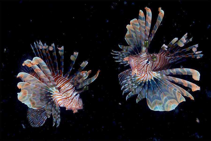 Night dance by Andrey Narchuk - Animals Fish ( red sea, nature, pair, underwater, lionfish, fish, sea, hunt, night, dance, diving )