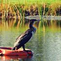 Great Cormorant, Corvo-marinho-de-faces-brancas